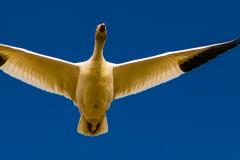 Lone Snow Goose